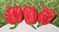 Piment Chili Carolina Reaper